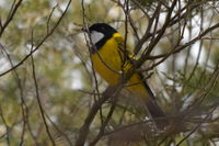 Golden Whistler - The Block Berringa