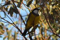 Golden Whistler Male - Berringa Sanctuary