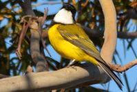 Golden Whistler Cock- Berringa Sanctuary