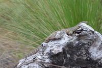 Goulds Monitor - Lake Leschenaultia W.A