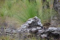 Goulds Monitor - Lake Leschenaultia W.A