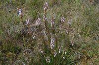 Grass Trigger Plant - Berringa Sanctuary