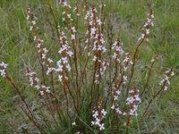 Grass Trigger Plant - The Block Berringa