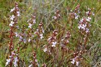 Grass Trigger Plant - The Block Sanctuary Berringa