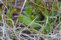 Grasshopper - Berringa Sanctuary