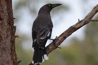 Grey Currawong - Berring Sanctury