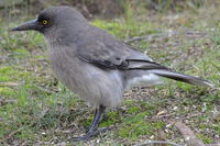Grey Currawong - Berringa Sanctuary