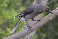 Grey Currawong - Berringa Sanctuary