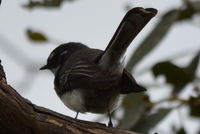 Grey Fantail - Berringa Sanctuary