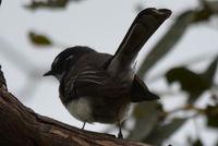 Grey Fantail - Berringa Sanctuary