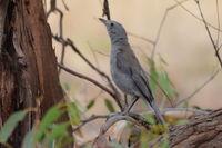 Grey Shrike Thrush - Berringa Sanctuary
