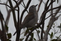 Grey Shrike Thrush - Berringna Sanctuary