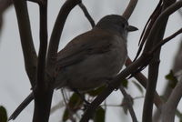 Grey Shrike Thrush - Berringna Sanctuary