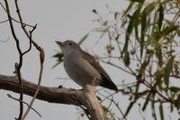 Grey Shrike Thrush The Block Berringa
