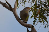 Grey Shrike Thrush The Block Berringa