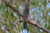 Grey Shrike Thrush - The Block Berringa