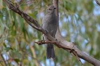 Grey Shrike Thrush - The Block Berringa