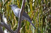 Grey Shrike-Thrush  - Pails for Scales Unique Pets