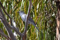Grey Shrike-Thrush - The Block Berringa