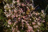 Heath - Berringa Sanctuary