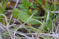 Hedge Grasshopper - Berringa Sanctuary