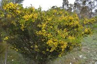 Hedge Wattle - The Block  Berringa Sanctuary