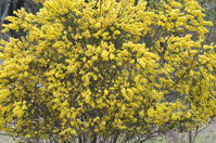 Hedge Wattle - Berringa Sanctuary