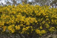 Hedge Wattle - Berringa Sanctuary