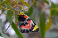 Imperial White Butterfly - Berringa Sanctuary
