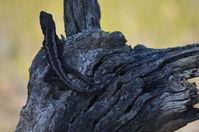Jacky  Dragon - Berringa Sanctuary