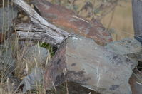 Jacky Lizard - Berringa Sanctuary