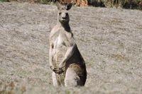 Kangaroo - Mount cole