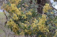 Late Black Wattle - Berringa Sanctuary