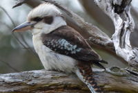 Laughing Kookaburra - Berringa Sanctuary