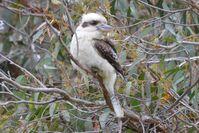 Laughing Kookaburra - Berringa Sanctuary