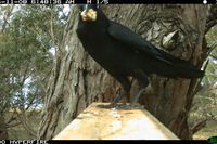 Little Raven Stealing possum bait - Berringa Sanctuary