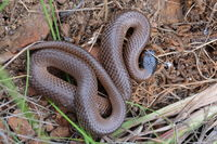 Little Whip Snake - Berringa Sanctuary