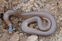 Little Whip Snake - Berringa Sanctuary
