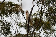 Long Billed Corella - Berringa Sanctuary