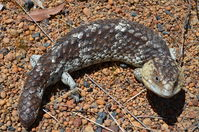 Long tailed Shingleback - Paruna A.W.C - W.A