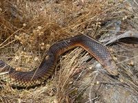 Lowland Copperhead- The Block Berringa