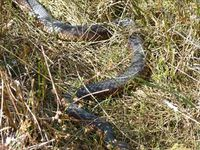 Lowland Copperhead-The Block Berringa