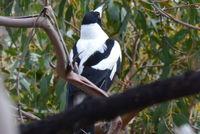 Magpie - Berringa Sanctuary