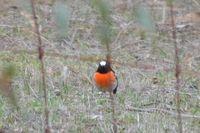 Male Scarlet Robin - Pails for Scales Unique Pets