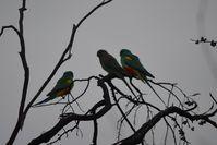Mulga Parrot - Scotia A.W.C