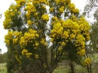 Narrow leaf Wattle - Beringa Sanctuary