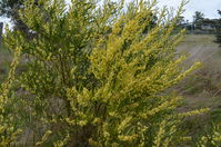 Narrow-Leaf Wattle - Berring Sanctuary