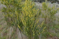 Narrow-Leaf Wattle - Berring Sanctuary