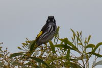 New Holland Honeyeater - Berringa Sanctuary