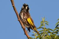 New Holland Honeyeater - Berringa Sanctuary